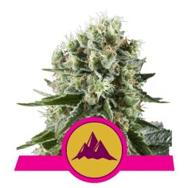 Critical Kush Royal Queen Cannabisfrø Skunkfrø