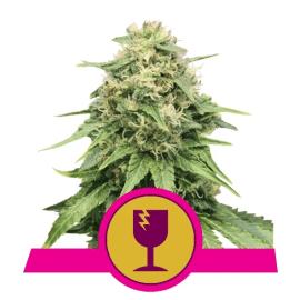 Critical Royal Queen Cannabisfrø Skunkfrø