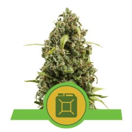 Diesel Automatic Royal Queen cannabisfrø skunkfrø