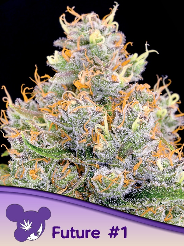 Future 1 Anesia Seeds cannabisfrø skunkfrø