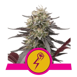 Green Crack Punch Royal Queen Cannabisfrø Skunkfrø