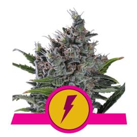North Thunderfuck Royal Queen Cannabisfrø Skunkfrø