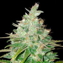 Afghan Kush x Black Domina World of Seeds skunkfrø cannabisfrø