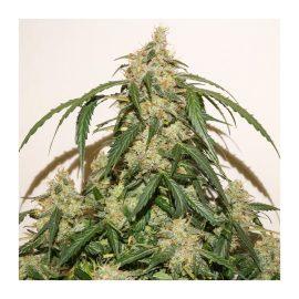 Auto Skywalker Haze Dutch Passion cannabisfrø skunkfrø