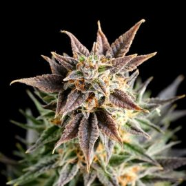 Big Band Kannabia skunkfrø cannabisfrø
