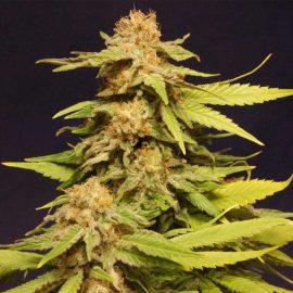 Big Bull Kannabia skunkfrø cannabisfrø