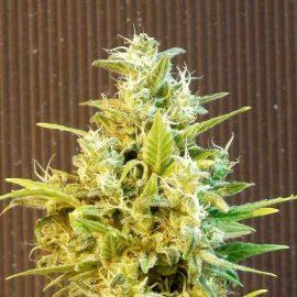 CBG Auto Kannabia cannabisfrø skunkfrø