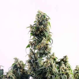 Cannabidivarina Auto (CBDV) Kannabia cannabisfrø skunkfrø