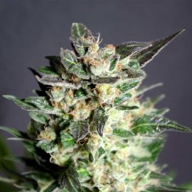 Diesel Glue Kannabia skunkfrø cannabisfrø