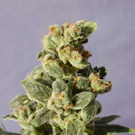 Gnomo Auto Kannabia skunkfrø cannabisfrø