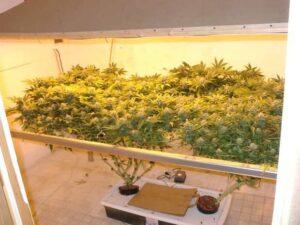 SCROG cannabis Screen of Green dyrkingsteknik (2)
