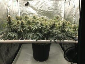 SCROG cannabis Screen of Grenen dyrkingsteknik
