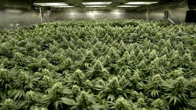 Sea of Green SOG cannabis dyrkning