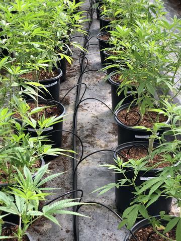 Sea of Green SOG drypvanding af cannabis