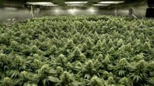 [Guide] Sådan opbevarer du dine cannabisfrø korrekt