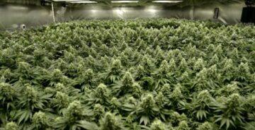 Sea of Green SOG dyrking af cannabis