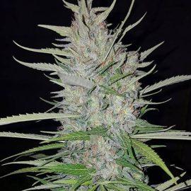 Pusherstreet No. 1 Christiania Seeds cannabisfrø skunkfrø