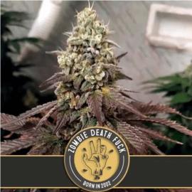 ZOMBIE DEATH FUCK Blimburn Seeds cannabisfrø