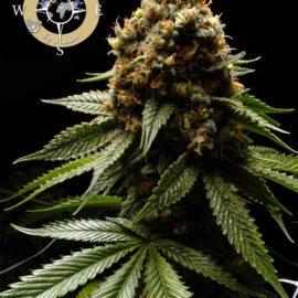 Afghanica 2 Anesia Seeds cannabisfrø skunkfrø