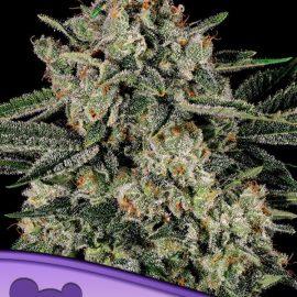 Banana MAC Anesia Seeds skunkfrø cannabisfrø