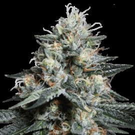 Lave Freeze Super Sativa Seed Club