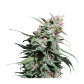 Pineapple Poison Super Sativa Seed Club