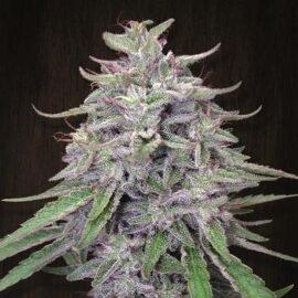 Bangi Haze Ace Seeds cannabisfrø