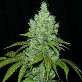 Black Valley Ripper Seeds cannabisfrø skunkfrø