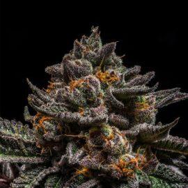 Brain Cake Ripper Seeds Cannabisfrø skunkfrø