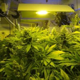 Bubba Hash Ace Seeds cannabisfrø