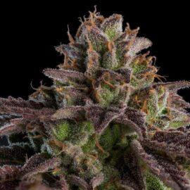 Kmintz Ripper Seeds cannabisfrø skunkfrø